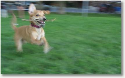 Hund mit Stock, rennend
